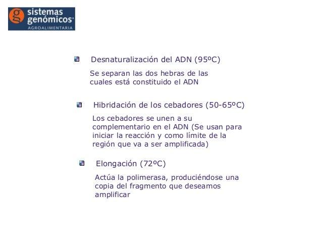 Introducción a la PCR®Desnaturalización del ADN (95ºC)Se separan las dos hebras de lascuales está constituido el ADNHibrid...