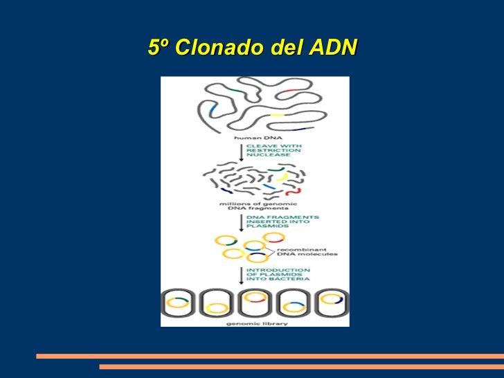 <ul>El siguiente paso será introducir el vector de clonación que contiene el gen que se quiere clonar en la célula hospeda...