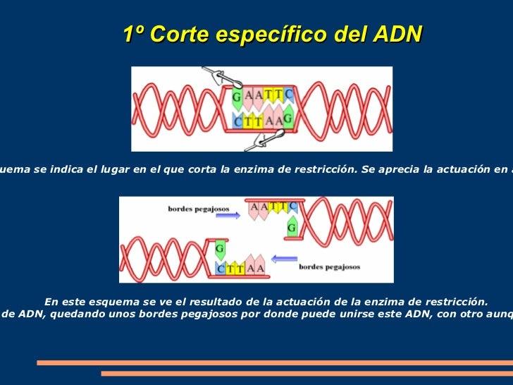 En la tecnología del ADN recombinante podemos diferenciar cinco etapas básicas:  </li></ul><ul>TECNOLOGÍA DEL ADN RECOMBIN...