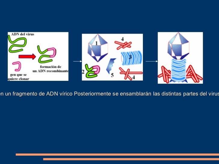 <ul>1º Corte específico del ADN   </ul><ul>En este esquema se indica el lugar en el que corta la enzima de restricción. Se...