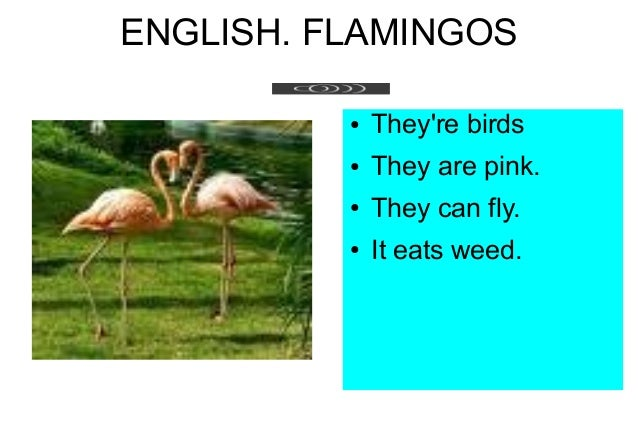 ENGLISH. FLAMINGOS ● They're birds ● They are pink. ● They can fly. ● It eats weed.