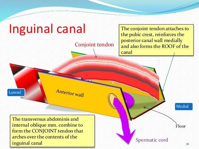 Inguinal hernia surgical anatomy