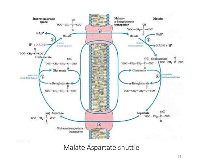 Inhibitors Uncouplers Of Oxidative Phosphorylation Etc