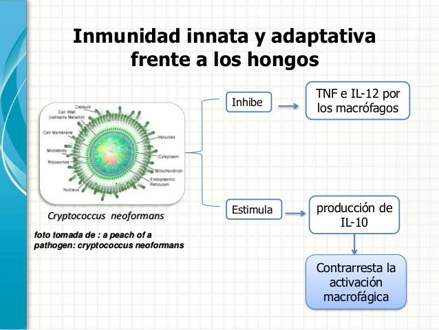 hongos essay Debido a que no existen reportes sobre el aislamiento in vitro del hongo   essays on organismal aspects of the fungus-growing ant symbiosis: ecology,.