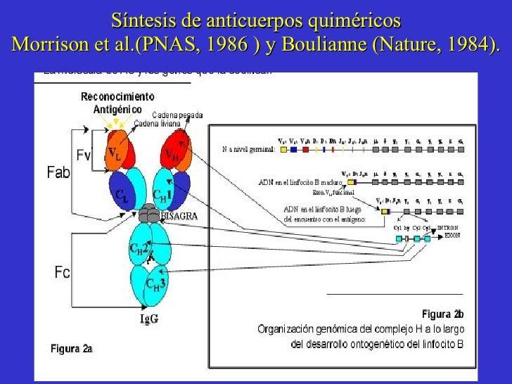 Síntesis de anticuerpos quiméricos Morrison et al.(PNAS, 1986 ) y Boulianne (Nature, 1984).