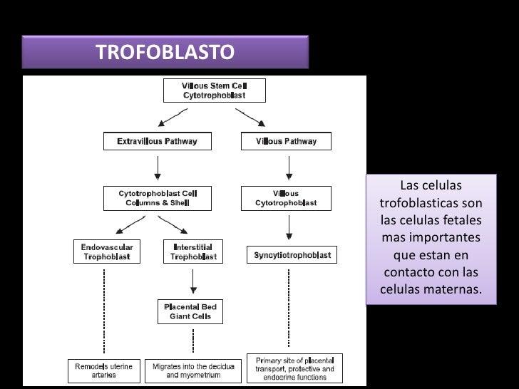 TROFOBLASTO                  Las celulas              trofoblasticas son              las celulas fetales              mas...