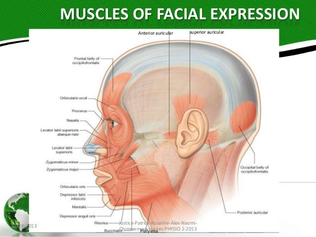 Muscle of the facial expression