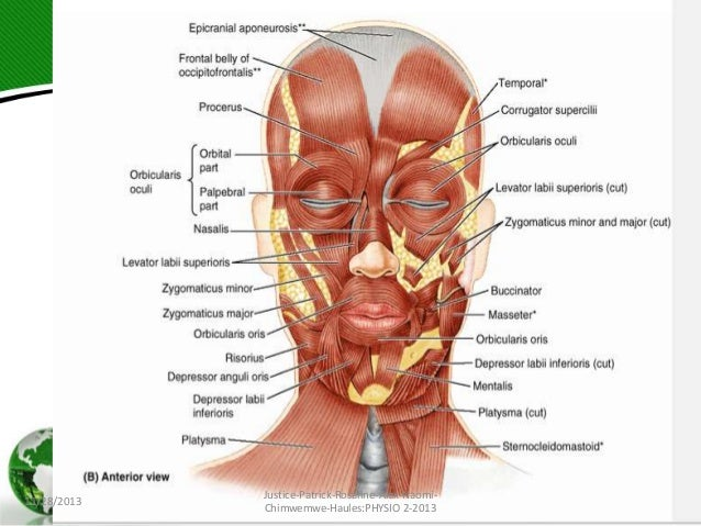 Facial nerves and muscles