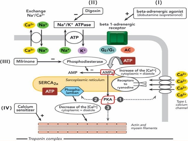 Simplified schematic of postulated intracellular actions of beta -adrenergic agonists