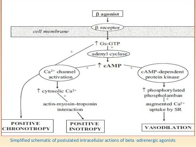Dobutamine • β1 >>>β2>>α1 (β1: β2 = 3:1). • Inotropic (increase CO), Mild Chronotropic and vasodilation: < 5micg/kg/min. (...