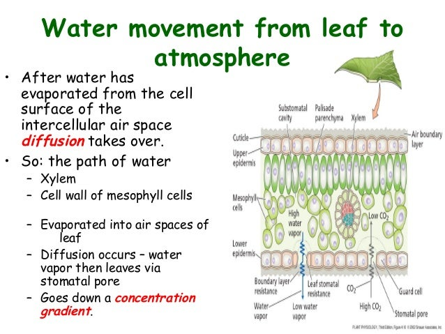 Movement Of Water From Root To Atmosphere
