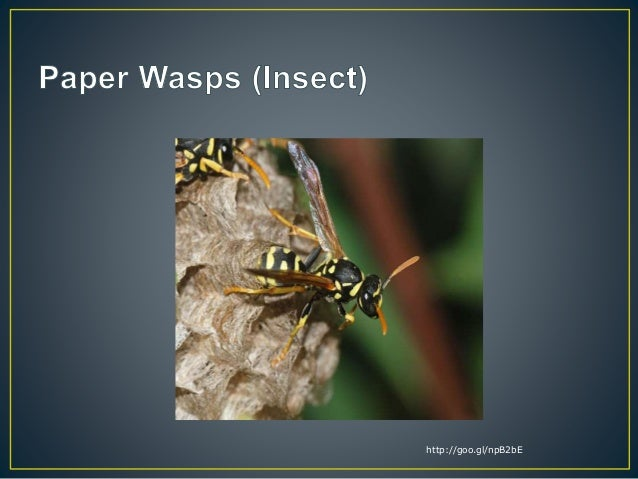 paper wasp sting reaction - photo #34