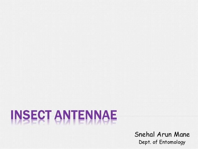 Insect antennae