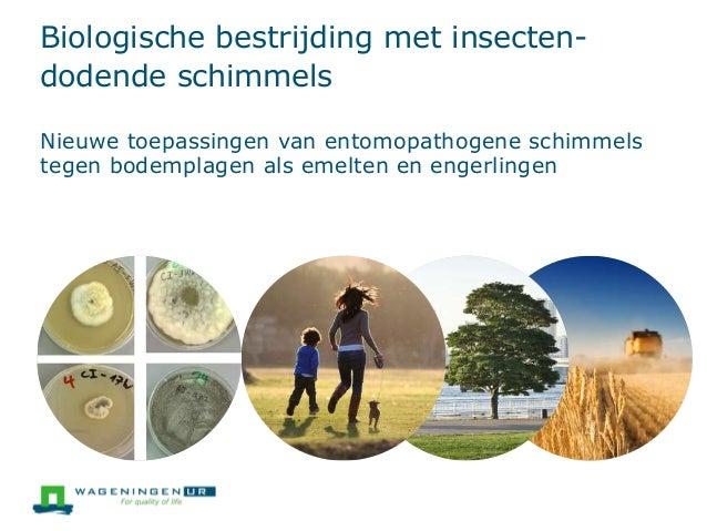 Biologische bestrijding met insecten- dodende schimmels Nieuwe toepassingen van entomopathogene schimmels tegen bodemplage...