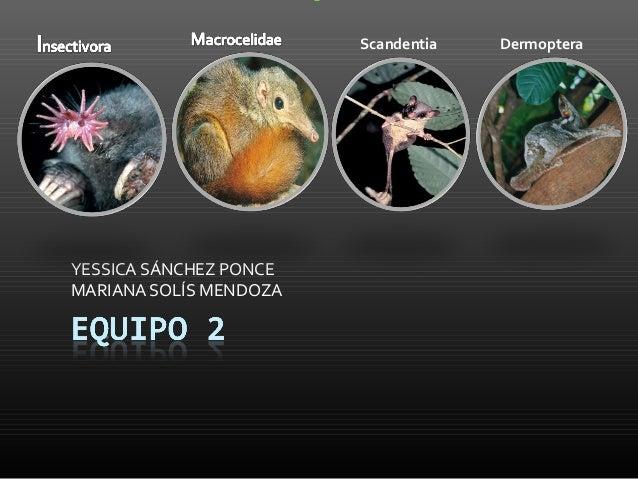 Scandentia   DermopteraYESSICA SÁNCHEZ PONCEMARIANA SOLÍS MENDOZA