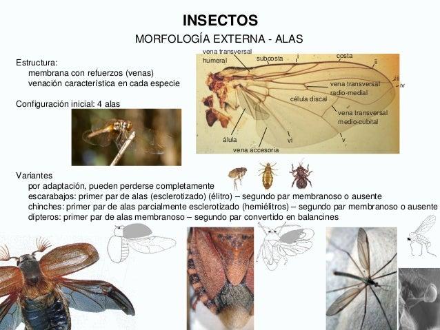 INSECTOS MORFOLOGÍA EXTERNA - ALAS Estructura: membrana con refuerzos (venas) venación característica en cada especie Conf...