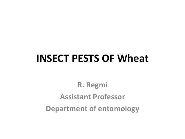 INSECT PESTS OF Wheat R. Regmi Assistant Professor Department of entomology
