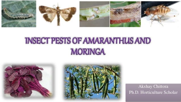 INSECT PESTS OF AMARANTHUS AND MORINGA Akshay Chittora Ph.D. Horticulture Scholar
