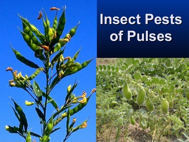 Insect PestsInsect Pests of Pulsesof Pulses