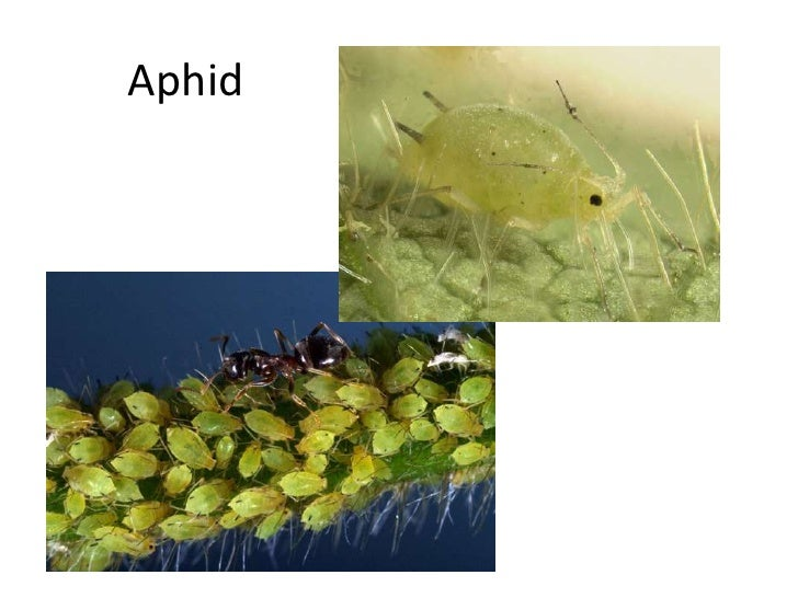 Aphid<br />