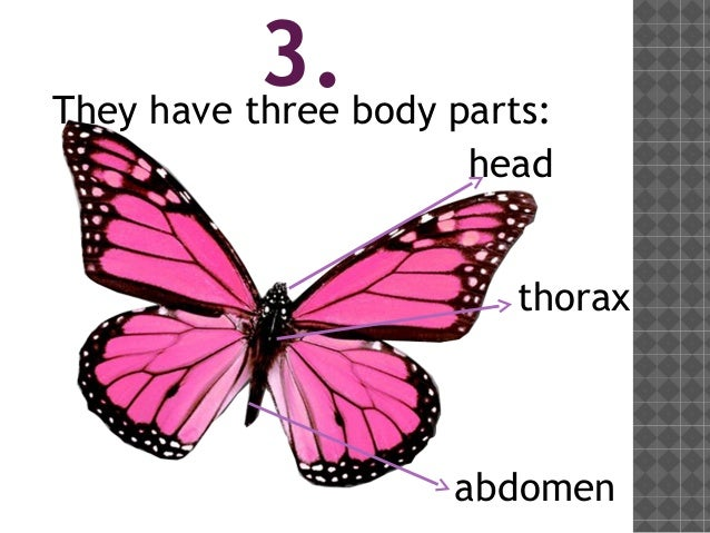 Butterfly Body Parts : Insects by sara martín