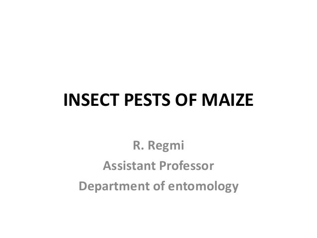 INSECT PESTS OF MAIZE R. Regmi Assistant Professor Department of entomology