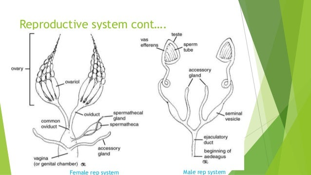 Insects physiology reproductive system cont female rep system male rep system ccuart Images