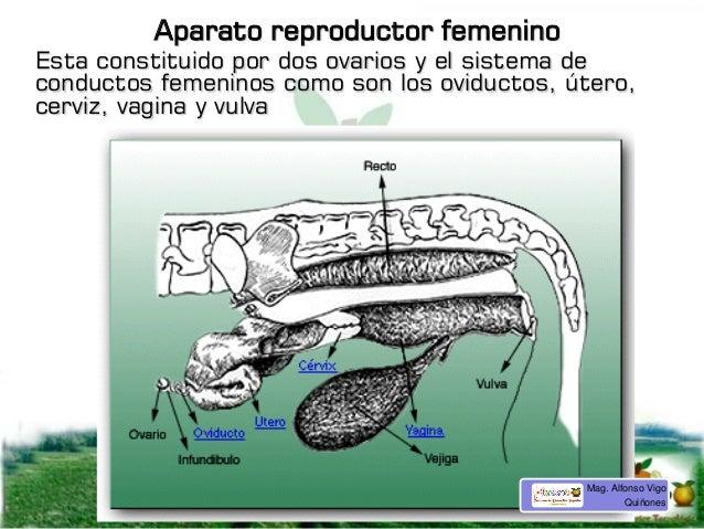 Aparato reproductor femenino Esta constituido por dos ovarios y el sistema de conductos femeninos como son los oviductos, ...