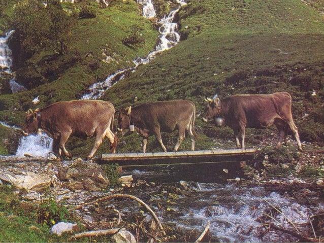 En los bovinos la técnica más difundida y eficaz es el método rectocervical que consiste en introducir un brazo por el rec...