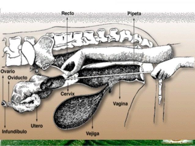 • Características del potro – Fijo o móvil. – Ligeramente más bajo que la altura de los ojos del verraco (como una primeri...