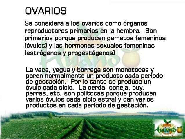 OVARIOS Se considera a los ovarios como órganos reproductores primarios en la hembra. Son primarios porque producen gameto...