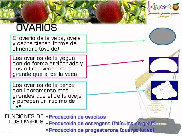 OVARIOS El ovario de la vaca, oveja y cabra tienen forma de almendra (ovoide) Los ovarios de la yegua son de forma arriñon...