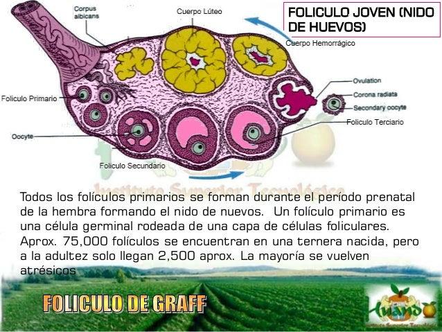 El folículo está en constante crecimiento, un folículo primario al perder el núcleo se convierte en folículo secundario, y...