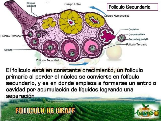 Cuando se forma el antro se denomina folículo terciario en cuyo interior empieza a formarse una hormona llamada estrógeno ...