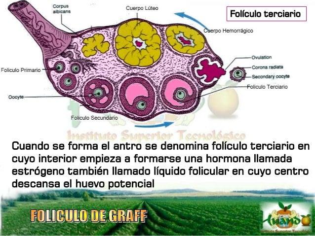 Con las deshicencias del folículo ocurre hemorragia y se forma un coágulo, al folículo deshicente con su cavidad llena de ...