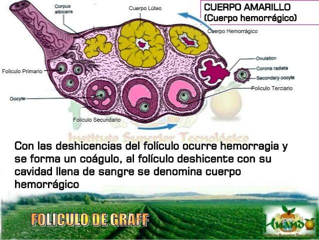 El cuerpo hemorrágico, es rápidamente reemplazado por el cuerpo lúteo también llamado cuerpo amarillo que se forma por la ...