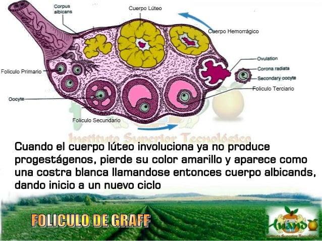 OVIDUCTOS Llamados también trompas de falopio, son un par de tubos enrollados que se extienden cerca de los ovarios hasta ...
