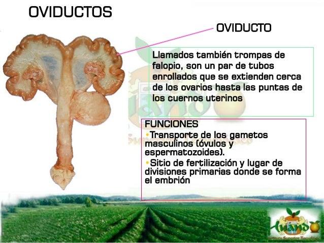OVIDUCTO El oviducto se divide en 3 segmentos: EL INFUNDIBULO: Que es la abertura en forma de embudo cerca del ovario. En ...