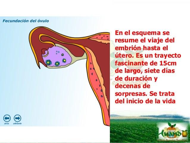 UTERO La función principal del útero es retener y nutrir al embrión o feto. Antes que el embrión se adhiera al útero la al...