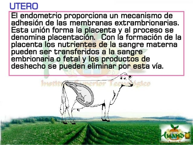 UTERO La forma de la placenta difiere entre especies: PLACENTA COTILEDONARIA, se encuentra en vacas, ovejas cabras, tienen...