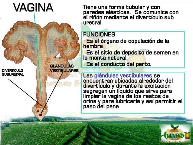 Organo Funciones OVARIO Producción de ovocitos Producción de estrógenos (folículo de graaf) Producción de progestágenos (c...