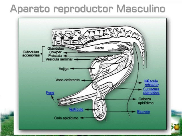 TESTICULOS El descenso ocurre debido a un acortamiento del ligamento gubernaculum mediante el cual los testículos son jala...