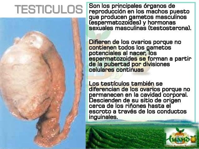 TESTICULOS Dentro del parénquima están los túbulos seminíferos y contienen células germinales (espermatogonias) y células ...