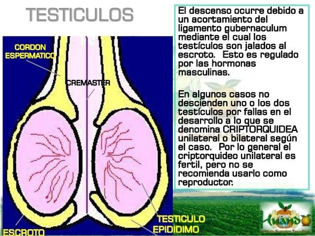 ESCROTO Y CORDON ESPERMATICO El escroto es el saco que envuelve a los testículos y casi siempre se localiza en la parte in...