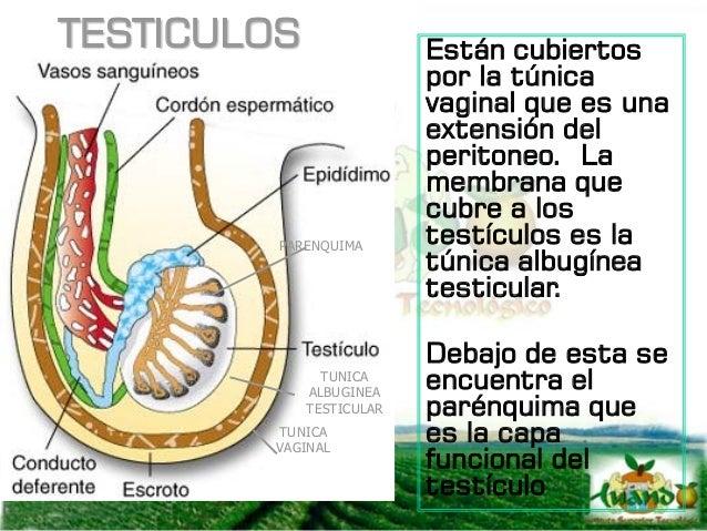 ESCROTO Y CORDON ESPERMATICO CONTROL DE TEMPERATURA El papel del escroto y del cordón espermático es termolábil, consiste ...