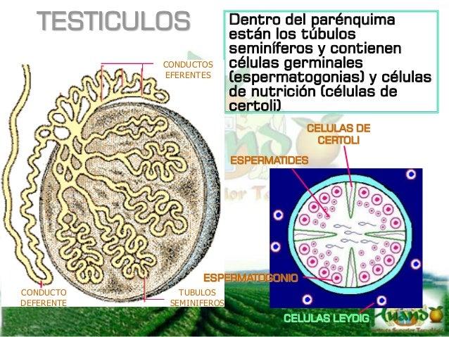 EPIDIDIMO Es el primer conducto externo que sale de los testículos y consta de las siguientes partes: CABEZA Se ubica en l...