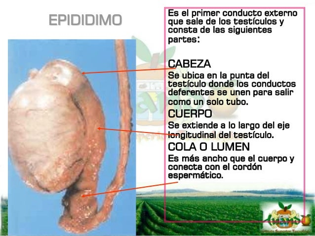 CONDUCTO DEFERENTE Es un tubo que sale de la cola del epididimo y se une con la uretra que viene de la vejiga, sirve de tr...