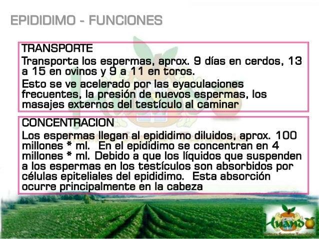 GLANDULAS VESICALES También llamada vesículas seminales son un par de glándulas que se identifican por su forma de racimo ...