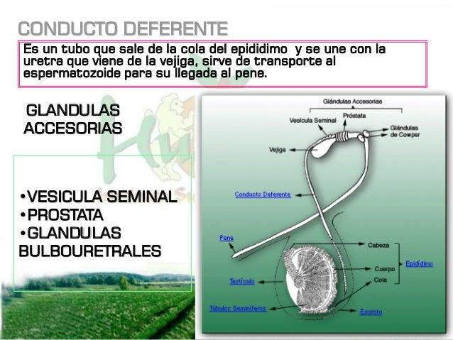 PENE Es el órgano de cópula de los machos, los toros cerdos y borregos tienen una flexura sigmoidea en el pene lo que perm...