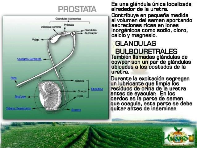 PREPUCIO Es una invaginación de la piel que encierra por completo el extremo libre del pene, es el homólogo de los labios ...